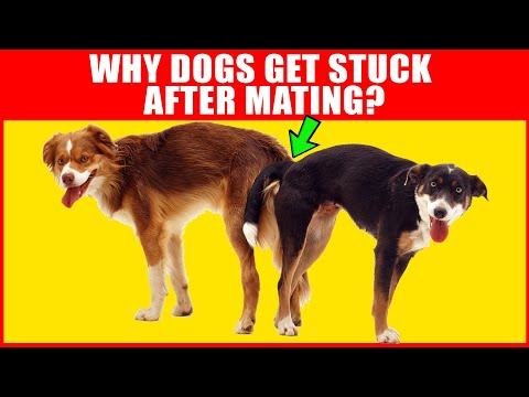 Download Why Dogs Get Stuck After Mating - Breeding Process Explained