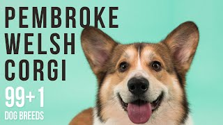 Pembroke Welsh Corgi / 99+1 Dog Breeds