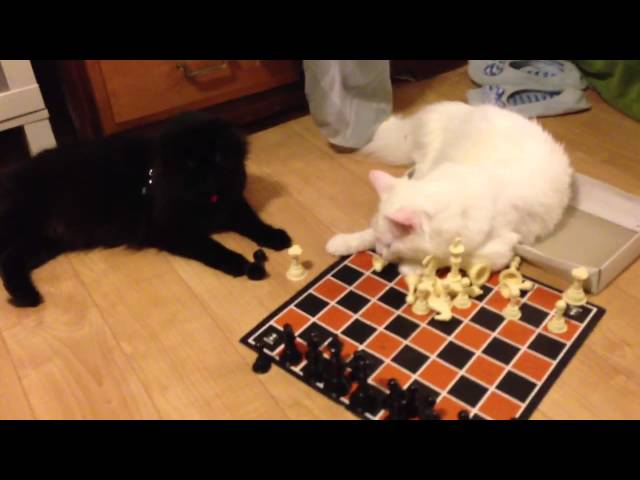How My Cats Play Chess (White vs Black)