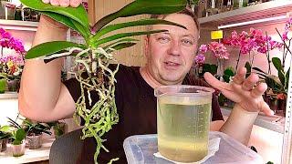 ЖИРНЫЕ КОРНИ ОРХИДЕИ СОХРАНЯЕМ АТМОСФЕРУ пересадка орхидеи в грунт для разного полива