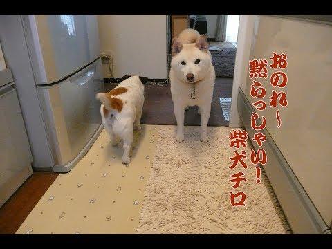 柴犬白、おのれ~、黙らっしゃい! 面白い犬の心 Shiba Inu White & Jack Russell Terrier