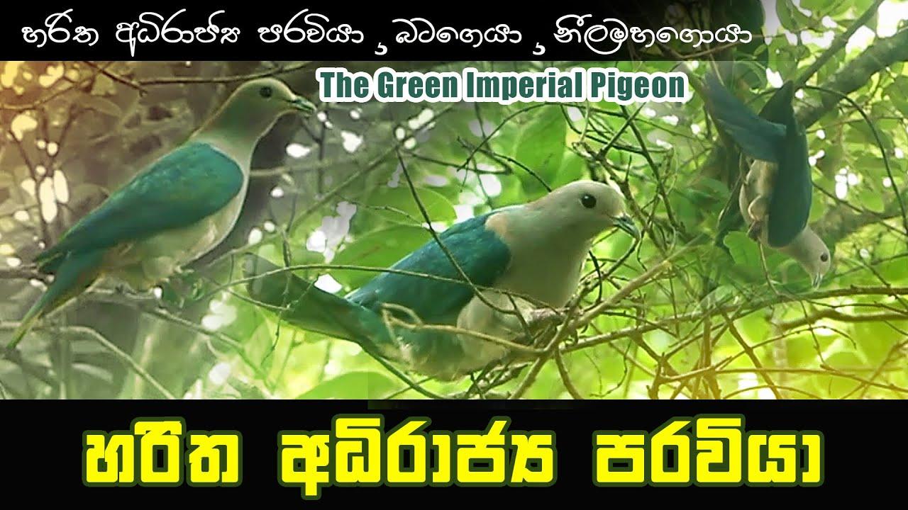 Pigeon /හරිත අධිරාජ්ය පරවියා /බටගොයා