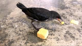 Bird not afraid of humans !