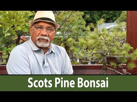 187) Scots Pine Summer Care - Bonsai Trees for Beginners Series