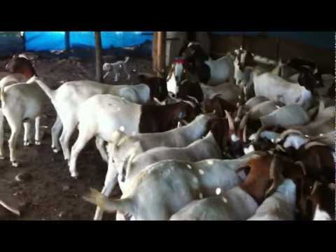Anatolian Shepherd Dog MUFASA 2- The Flock's Feeding Time