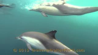 Common Dolphins Of Palos Verde - November 2013