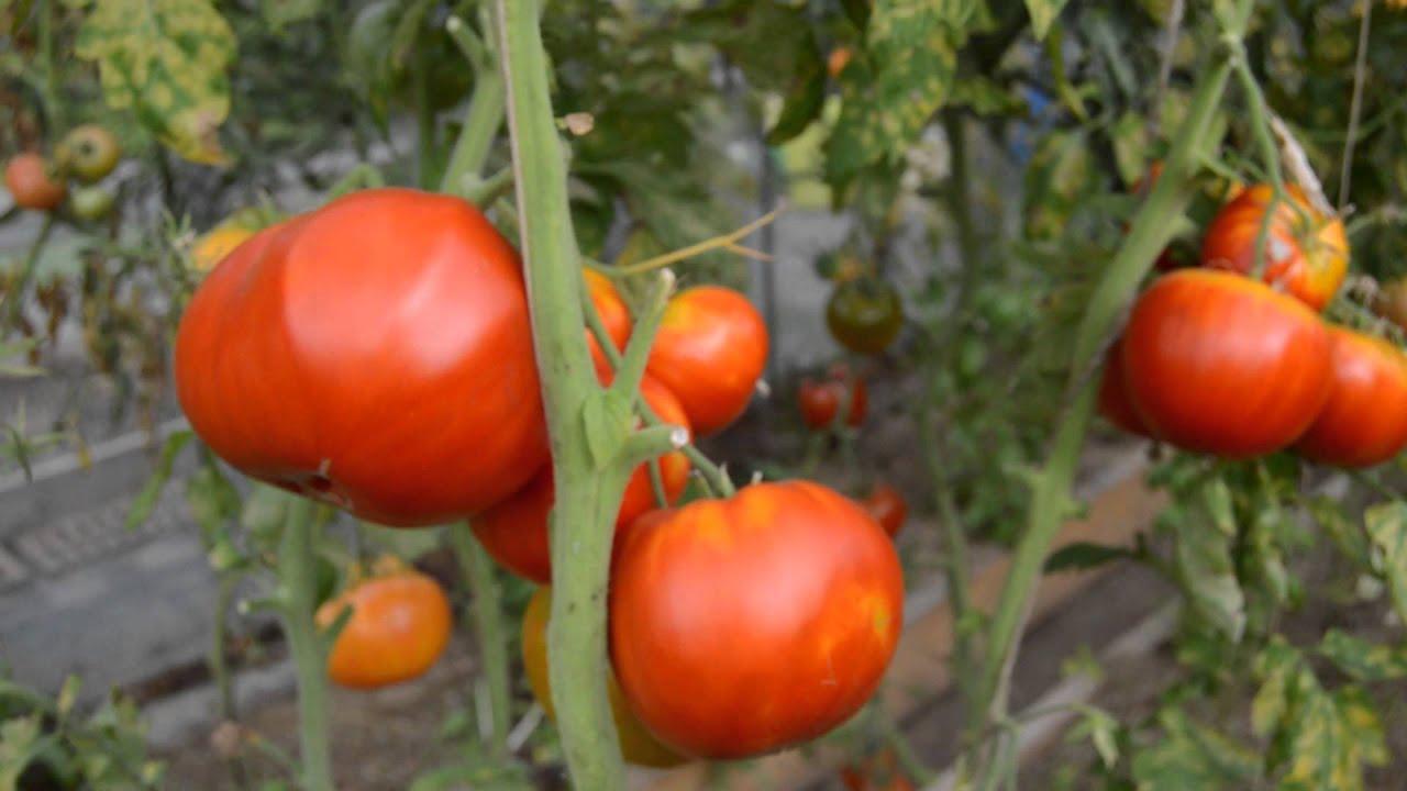сорт помидор бабушкино
