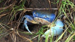 CRAB BLUE     GUA AMUM     1