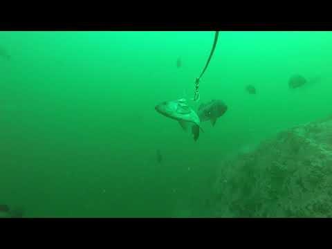 Black Rockfish - GoPro