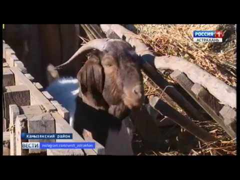 """В Астраханской области формируют племенное хозяйство """"бурских"""" коз"""