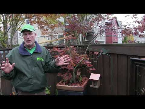 Pruning Japanese Maples—The Science And Art