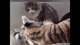شاهد.. قطة تعلم نمر