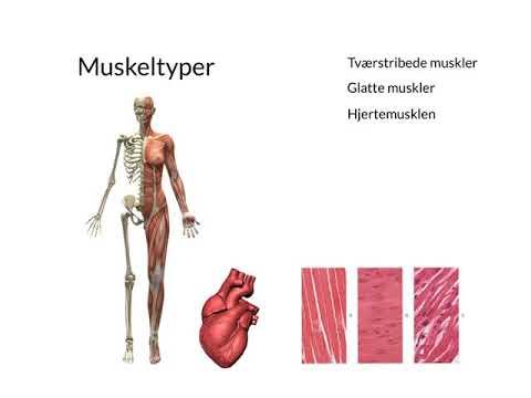 muskeltyper i kroppen