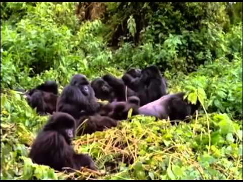Eastern and Western Lowland Gorillas