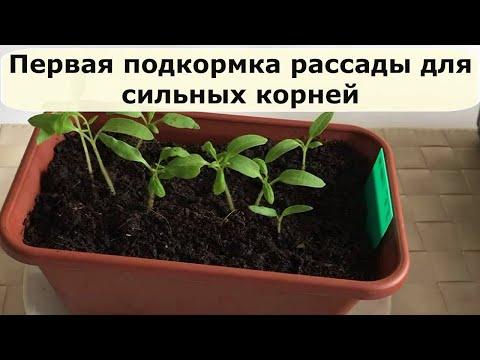 446. Первая подкормка рассады для сильных корней