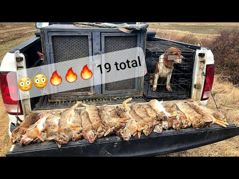 Epic rabbit hunt with dogs. 19 rabbits!!!