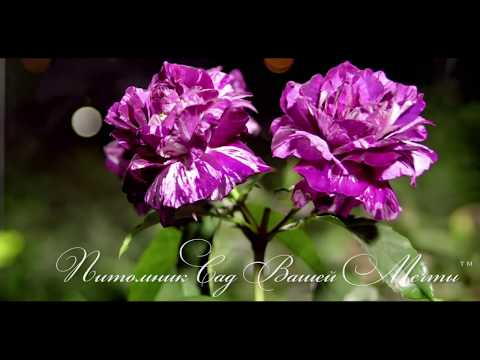"""Роза Purple Tiger. Обзор сорта. Питомник роз """"Сад Вашей Мечты""""."""