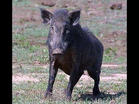 Mean Wild Boar Youtube
