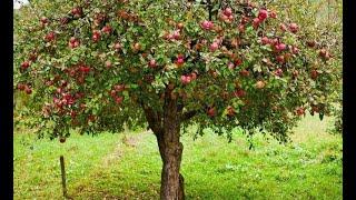 Наши саженцы яблонь! Видео прямо из питомника