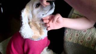 我が家の愛犬アメリカンコッカーのチャーリーの一発芸です!とってもカ...