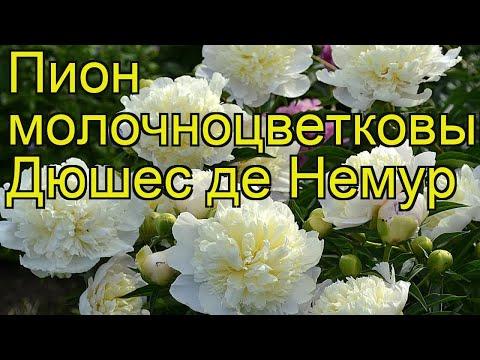 Пион молочноцветковый Дюшес де Немур. Краткий обзор, описание paeonia lactiflora Duchesse de Nemours