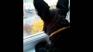 Цвергшнауцер Чапа/собака ругается