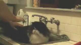 Bathing your Persian cat for a show  Step 1:  Bring on the Goop!