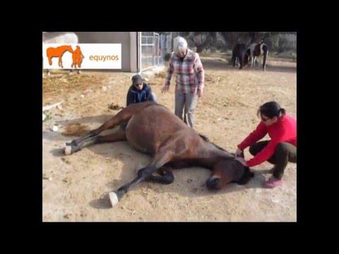 Reiki para aliviar dolor de cólico en caballo