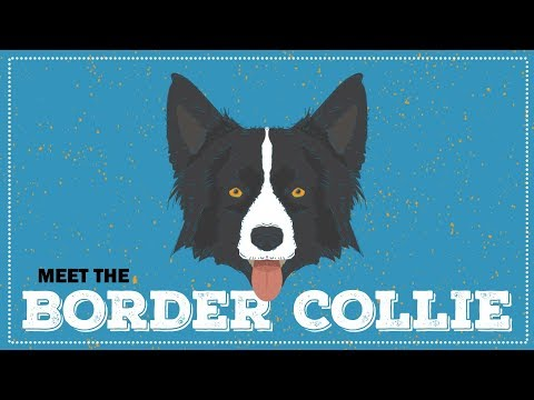 Breed Spotlight: The Border Collie