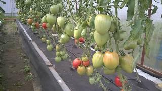 видео Выращивание овощей в теплице из поликарбоната: преимущества