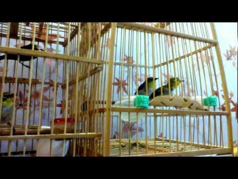 Chim Vành Khuyên mới về.[272 THỤY KHUÊ]