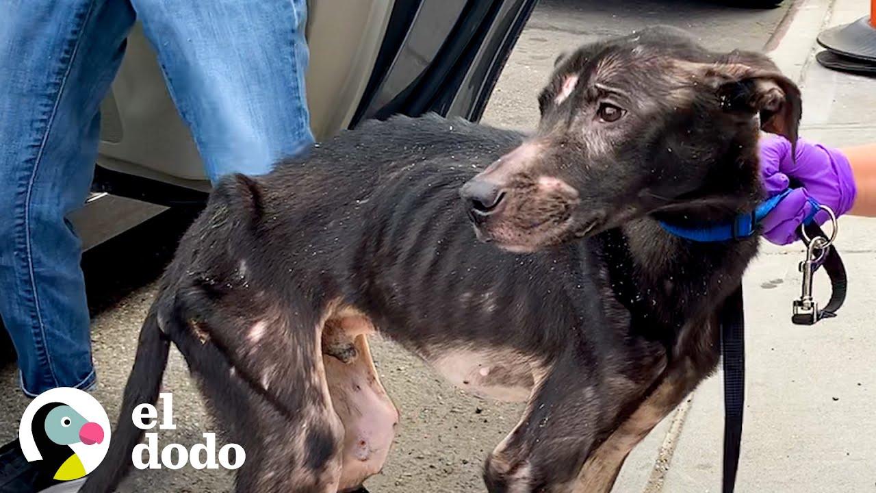 Perrito en los huesos es rescatado y su vida se transforma para siempre   El Dodo