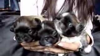 Pekingese Puppies 2 Weeks Old