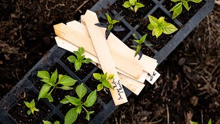 How to Plant Peppers