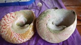 DIY: Polishing and Cleaning Seashells and Snail shells