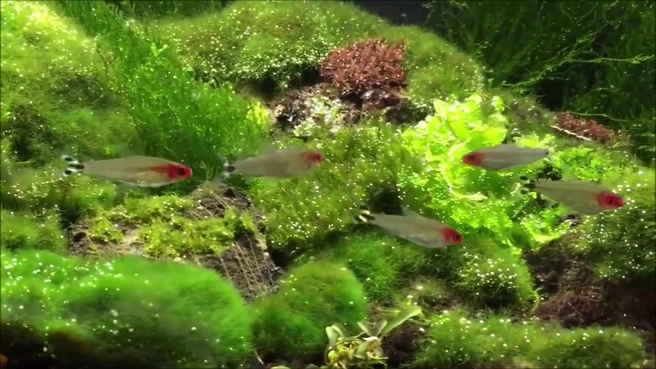 Aquascape Tips Riccia Moss Ludwigi Japan Fluitan Flame Youtube