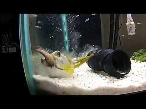 FAHAKA Puffer Fish Kills Crayfish
