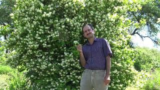 Plante si flori din gradina Domnului Iasomie