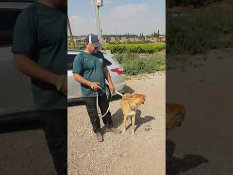 'סיריוס' כלב מעורב כנעני בן שנתיים