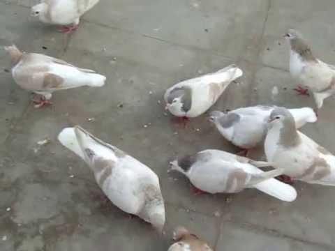 Lahori shirazi pigeons pair wd 1 chicks - Faisalabad
