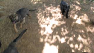 "The ""e"" Litter German Shepherd Lab Mix Puppies"