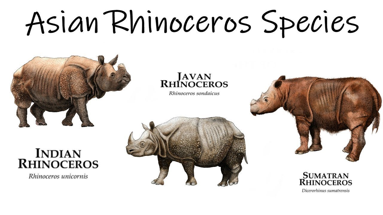 Image result for asian rhino
