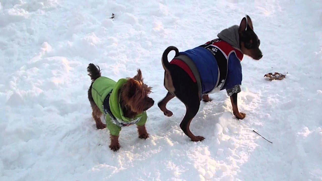 Cute Yorkie Playing In The Snow Yorkie And Min Pin Play Time