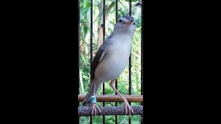 Download Video Suara burung CIBLEK SAWAH gacor fighter !!! Untuk pancingan MP3 3GP MP4