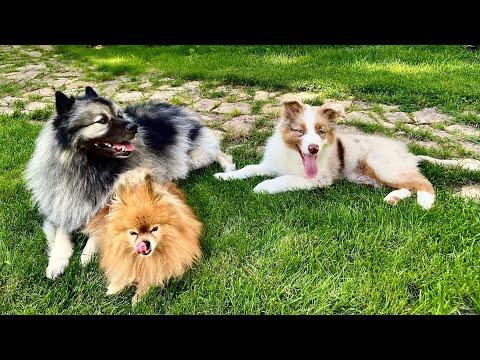 Про собак (Малый Немецкий Шпиц, Вольфшпиц и Аусси)