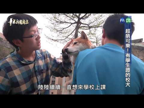 【超萌可樂 有學生證的校犬】華視新聞雜誌 2017.06.02