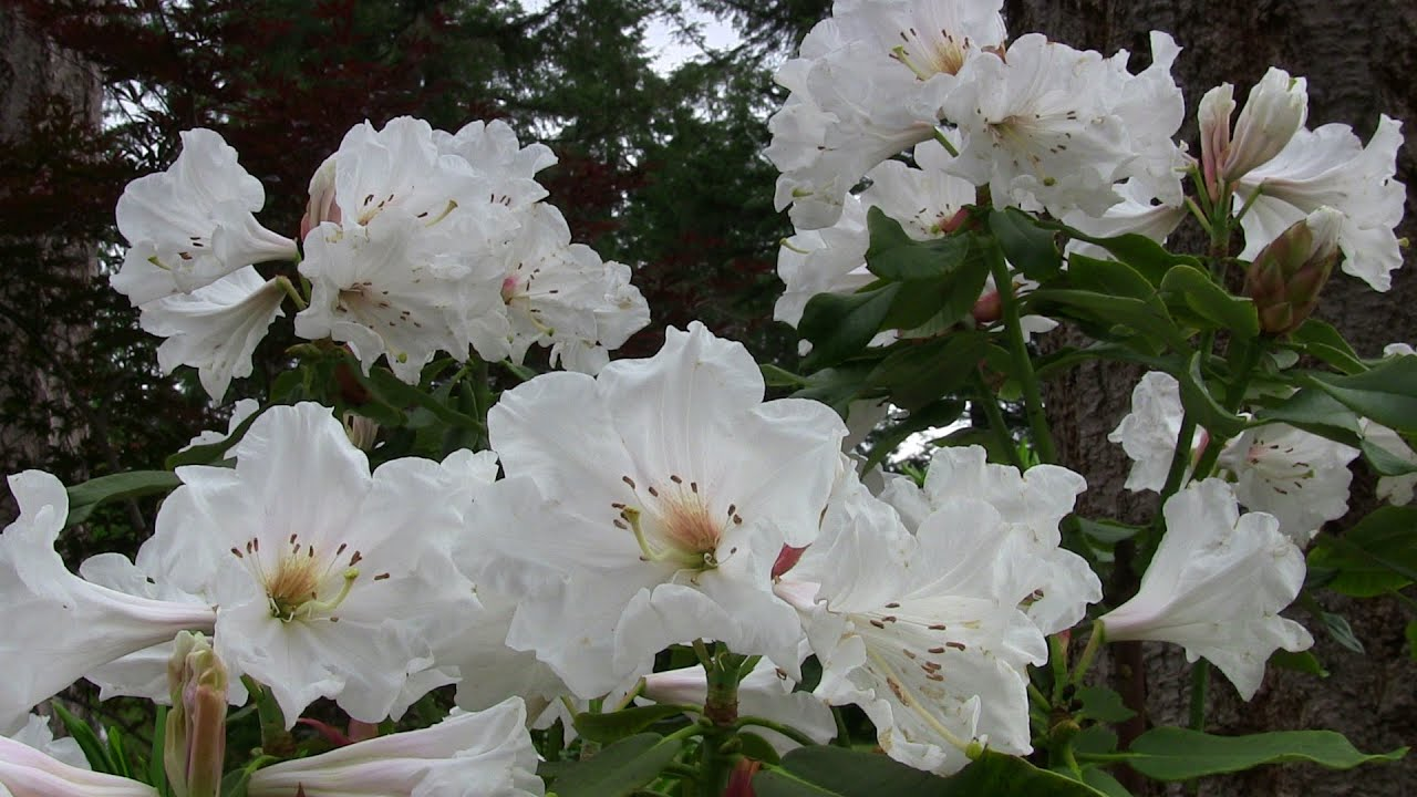 Rhododendron Polar Bear Blooming In July Youtube
