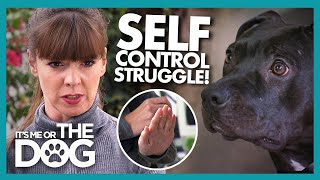 Can Impulsive Pitbulls Control Their Urge to Run Wild? | It's Me or The Dog