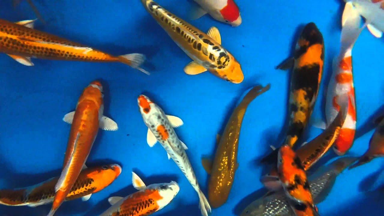 8 10 premium select koi from blue ridge fish hatchery for Blue ridge fish hatchery