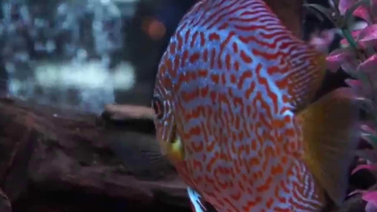 diskus aquarium als raumteiler 1100l youtube. Black Bedroom Furniture Sets. Home Design Ideas